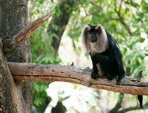 Leeuw-de steel verwijderd van macaque Royalty-vrije Stock Foto