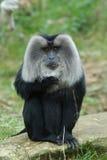Leeuw-de steel verwijderde van Macaque Stock Foto's