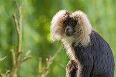 Leeuw-de steel verwijderde van macaque zitting Stock Afbeelding