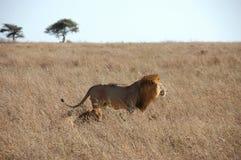 Leeuw in de wildernis Royalty-vrije Stock Afbeeldingen