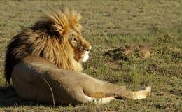 Leeuw in de zon royalty-vrije stock afbeeldingen