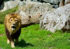 Leeuw in de zonneschijn Borås Zweden royalty-vrije stock foto's