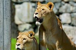 Leeuw in de zonneschijn Borås Zweden stock foto