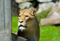 Leeuw in de zonneschijn Borås Zweden stock afbeelding