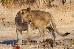 Leeuw die achteruit eruit zien Royalty-vrije Stock Fotografie