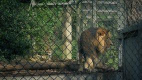 Leeuw die boven en beneden kooi afpassen stock videobeelden