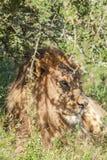 Leeuw die die in de schaduw liggen onder een boom wordt gecamoufleerd Stock Foto's