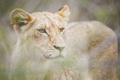 Leeuw die door het gras kijken stock foto's