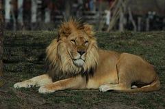 Leeuw die in gras op een warme middag liggen royalty-vrije stock afbeelding