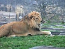 Leeuw die in het gras bij de Dierentuin van Kansas City liggen stock afbeeldingen