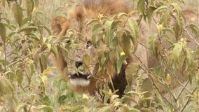 Leeuw die in het gras lopen stock footage