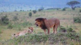 Leeuw die het gras snuiven Controles duidelijk grondgebied stock videobeelden