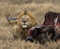 Leeuw die karkas van wildebeast bewaakt, royalty-vrije stock foto