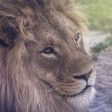 Leeuw die met duidelijke ogen staren royalty-vrije stock afbeeldingen