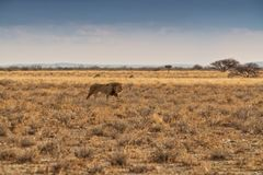 Leeuw die op de Afrikaanse savanne lopen Met zonsondergang licht, zijaanzicht nafta afrika royalty-vrije stock afbeelding