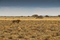 Leeuw die op de Afrikaanse savanne lopen Met zonsondergang licht, zijaanzicht nafta afrika stock foto