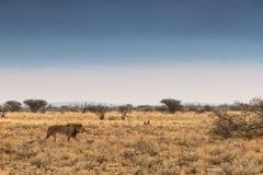 Leeuw die op de Afrikaanse savanne lopen Met zonsondergang licht, zijaanzicht nafta afrika stock foto's