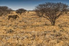 Leeuw die op de Afrikaanse savanne lopen Met zonsondergang licht, zijaanzicht nafta afrika stock afbeeldingen