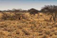 Leeuw die op de Afrikaanse savanne lopen Met zonsonderganglicht nafta afrika stock foto