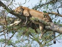 Leeuw die op een boom rusten Royalty-vrije Stock Foto's