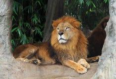 Leeuw die op een boom rusten Royalty-vrije Stock Afbeelding