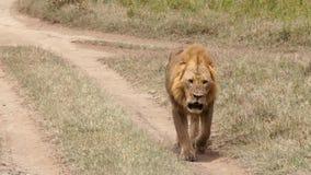 Leeuw die op het voetpad lopen stock footage