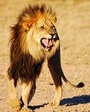 Leeuw die reactie Flehmen toont Stock Foto's