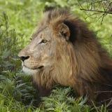 Leeuw die in schaduw van boom liggen Stock Afbeelding