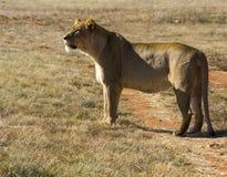 Leeuw die voedsel in vlaktes zoeken stock afbeelding