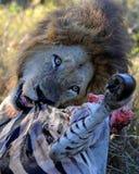 Leeuw die zebra eten Stock Afbeeldingen