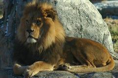 Leeuw die zijn koninkrijk onderzoekt Stock Foto's
