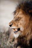 Leeuw die zijn tanden baring Stock Afbeeldingen