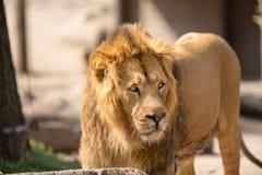 Leeuw die in zonnige dag lopen Royalty-vrije Stock Foto's