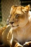 Leeuw - Dierentuin Royalty-vrije Stock Afbeeldingen