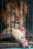 Leeuw in dierentuin Stock Foto's