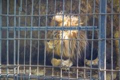 Leeuw in Dierentuin Stock Fotografie