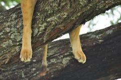 Leeuw in een boom in Nationaal Park Serengeti Royalty-vrije Stock Fotografie