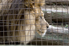 Leeuw in een kooi Stock Foto