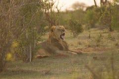 Leeuw in een spelaandrijving die wordt bevlekt stock foto
