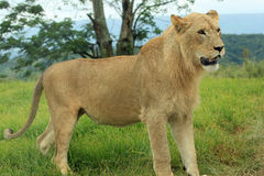 Leeuw in een Spelreserve in Zuid-Afrika Royalty-vrije Stock Afbeeldingen