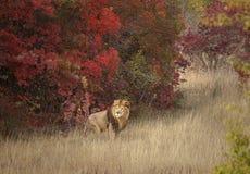 Leeuw in een vertrouwd milieu royalty-vrije stock afbeeldingen