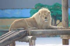 Leeuw, of eerder leo, koning van dieren stock foto's