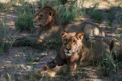 Leeuw en leeuwin Royalty-vrije Stock Foto
