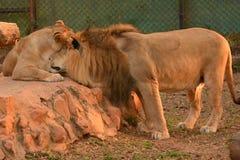 Leeuw en leeuwin Stock Foto's