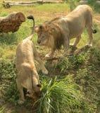 Leeuw en leeuwin Stock Afbeelding