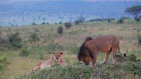 Leeuw en leeuwin die in savanne rusten stock footage