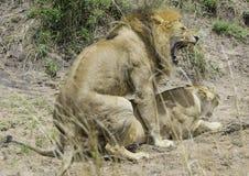 Leeuw en Leeuwin die Vertrouwelijk worden Stock Afbeelding