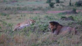 Leeuw en Leeuwin op een heuvel Masai Mara avond stock footage