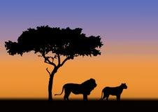 Leeuw en leeuwin in zonsondergang Royalty-vrije Stock Afbeeldingen