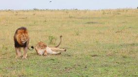 Leeuw en leeuwinpartner Masai Mara National Reserve, Kenia stock video